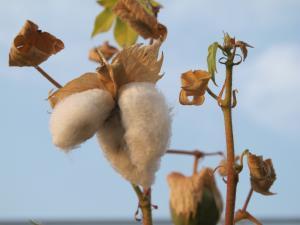 和綿栽培6